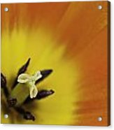 Orange Tulip Macro Acrylic Print by Lesley Rigg