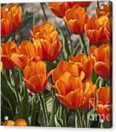 Orange Tulips  Acrylic Print