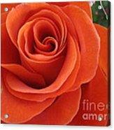 Orange Twist Rose 2 Acrylic Print
