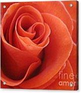 Orange Twist Rose 3 Acrylic Print