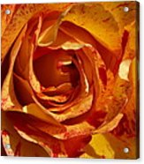 Orange Variegated Rose Acrylic Print