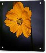 Orange Wild Flower Acrylic Print