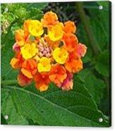 Orange Wildflower Acrylic Print
