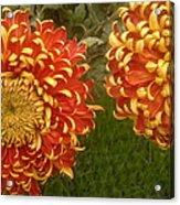 Orange-yellow Chrysanthemums Acrylic Print
