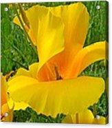 Orange Yellow Poppy Flower Art Print Acrylic Print