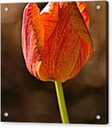 Orange/yellow Tulip Acrylic Print