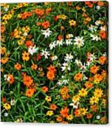 Orange Yellow White Daisies Acrylic Print