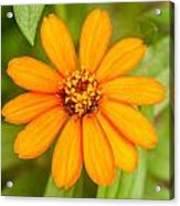 Orange Zenia Acrylic Print