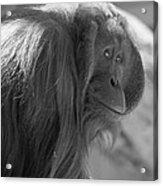 Orangutan Black And White Acrylic Print