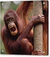 Orangutan Hanging On Tree Acrylic Print