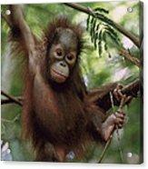 Orangutan Infant Hanging Borneo Acrylic Print by Konrad Wothe