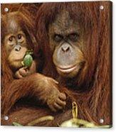 Orangutan Mother And Baby Acrylic Print