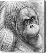 Orangutan - Pongo Pygmaeus Acrylic Print