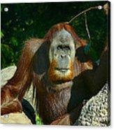 Orangutan Scratches With Stick Acrylic Print