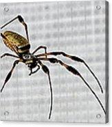 Orb Spider 4 Acrylic Print