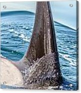 Orca Apex II Acrylic Print