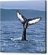 Orca Bitemarks On Humpback Tail Acrylic Print