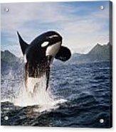 Orca Breach Acrylic Print