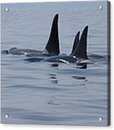 Orca Family Acrylic Print