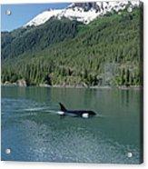 Orca Female Inside Passage Alaska Acrylic Print