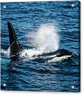 Orca Whale On The Move Acrylic Print by Puget  Exposure