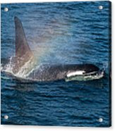 Orca Whale Surfacing Acrylic Print