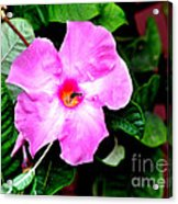 Orchard Colored Mandevilla Acrylic Print