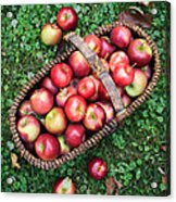 Orchard Fresh Picked Apples Acrylic Print