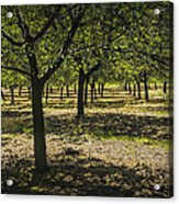 Orchard In West Michigan No. 279 Acrylic Print