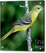 Orchard Oriole Icterus Spurius Female Acrylic Print