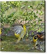 Orchard Orioles Acrylic Print