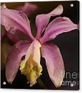 Orchid 133 Acrylic Print
