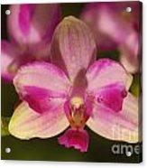 Orchid 144 Acrylic Print