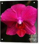Orchid 199 Acrylic Print