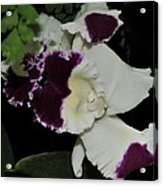 orchid 220 Cattleya Moscombe 'The King'  2 of 3 Acrylic Print