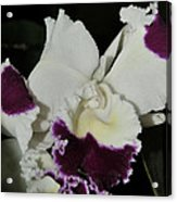 orchid 221 Cattleya Moscombe 'The King'  1 of 3 Acrylic Print