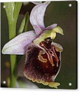 Orchid 29 Acrylic Print