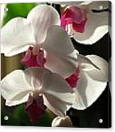 Orchid Beauty Acrylic Print