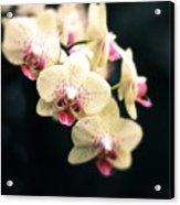 Orchid Blossom Acrylic Print