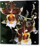 Orchid Brown Yellow White Macro Acrylic Print