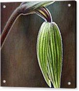 Orchid Bud Acrylic Print