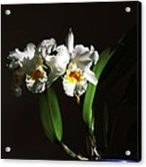 Orchid Cattleya Bow Bells Acrylic Print by Charline Xia