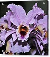 Orchid Cattleya Percivaliana Christmas Cattleya Acrylic Print