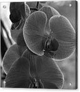 Orchid Cluster Acrylic Print