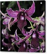 Orchid Dendrobium Lavender Star 204 Acrylic Print