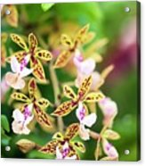Orchid (epidendrum Stamfordianum) Acrylic Print