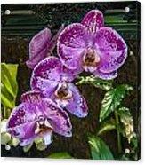 Orchid Flowers Growing Through Old Wooden Picture Frame Acrylic Print