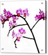 Orchid In White  Acrylic Print