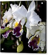 Orchid Laeliocattleya Lucie Hausermann With Buds 4074 Acrylic Print