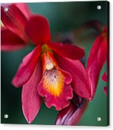 Orchid Love Acrylic Print